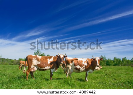The herd of cows is grazed on a pasture - stock photo