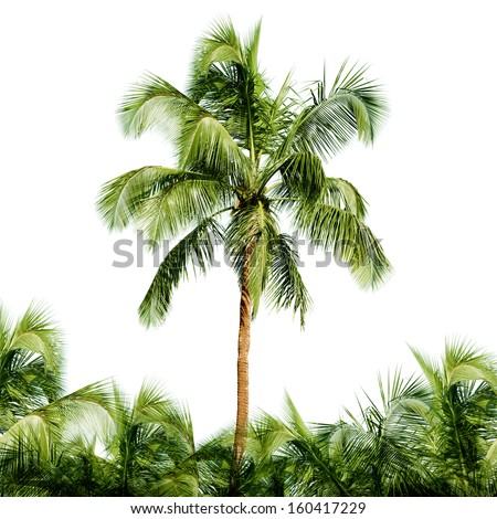 The high coconut tree isolated on white background - stock photo