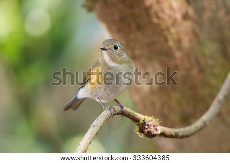 The Himalayan bluetail or Himalayan red-flanked bush-robin