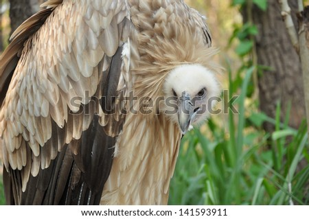 The Himalayan Vulture or Himalayan Griffon Vulture is an Old World vulture - stock photo