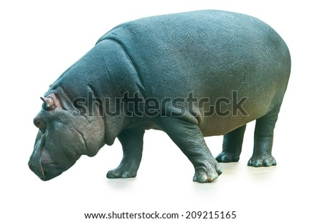 the hippopotamus isolated on white background  - stock photo