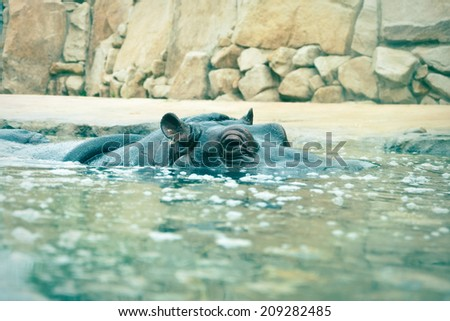 the hippopotamus looking out of the water - stock photo