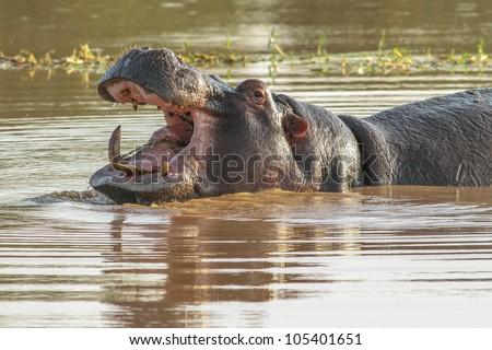 The hippopotamus. On the bright midday sun hippopotamus in water - stock photo