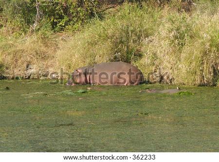 The Hippos pool - stock photo