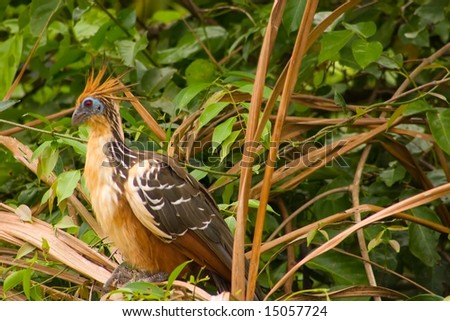 """The Hoatzin (Opisthocomus hoazin), also known as the Hoactzin, Stinkbird, or Canje """"Pheasant"""", is an unusual species of tropical bird found in swamps - stock photo"""