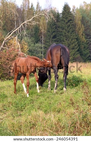 The horse feeds a foal on a pasture