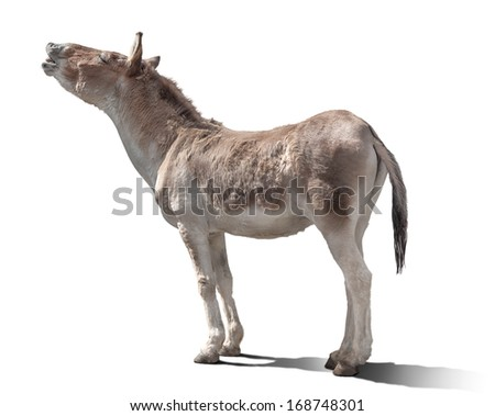 the horse lifted up the head, to the sun. bright rigid light. isolated on the white - stock photo