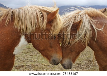 The horses who have inclined heads to each other - stock photo
