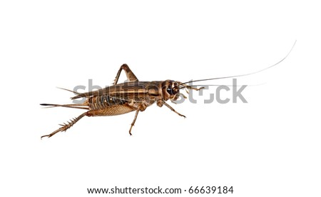 The house Cricket creeps on a white background - stock photo