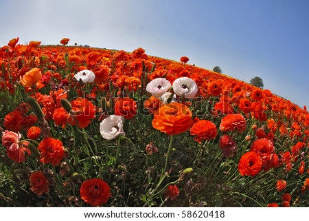 "The huge field of red, orange and white buttercups photographed by a lens ""Fish eye"" - stock photo"