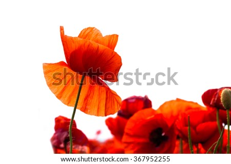 The huge field of red poppies flowers. Sun and clouds. Close-up. White background