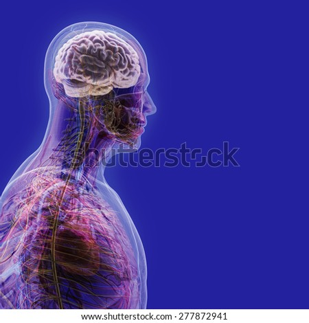 The human body (organs) by X-rays on blue background. High resolution.  - stock photo