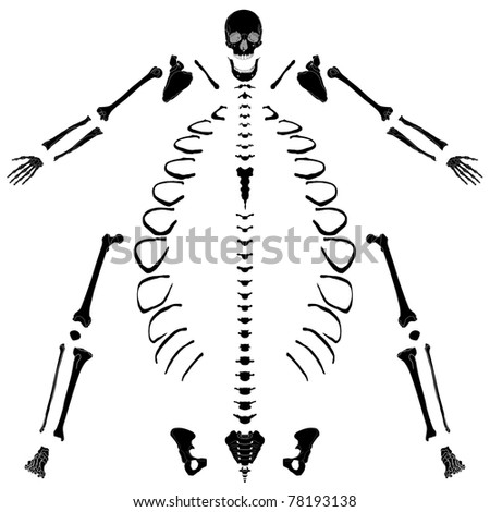 The human skeleton in the unassembled - stock photo