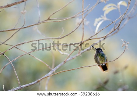 The humming-bird in branches./ Costa Rica - stock photo