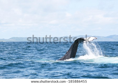 The humpback whale in the Carribean sea