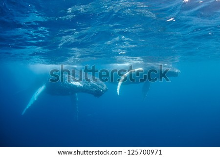 The Humpback whale (Megaptera novaeangliae) can reach lengths of 12-16 meters.  In the Atlantic, females give birth in the Caribbean then migrate north to feeding grounds off New England and Canada. - stock photo