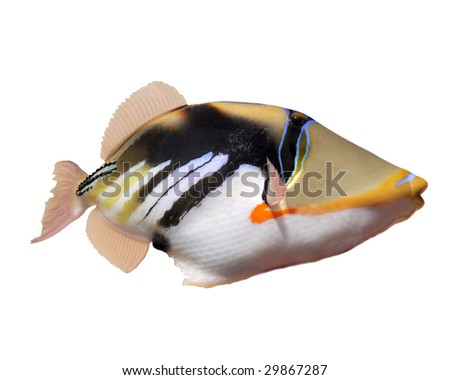 The humuhumunukunukuapua'a--the famous Hawaiian state fish. - stock photo