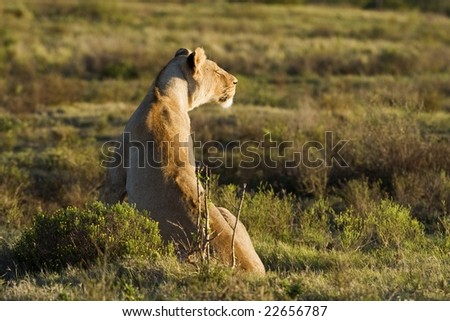 The hunting Lioness plans her next move