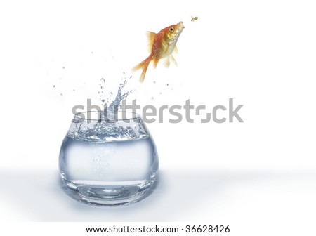 the hunting of gold fish on fly on white background