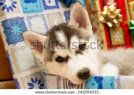 The husky puppy chews box - stock photo