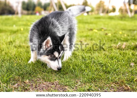 The husky puppy sniffing the grass - stock photo