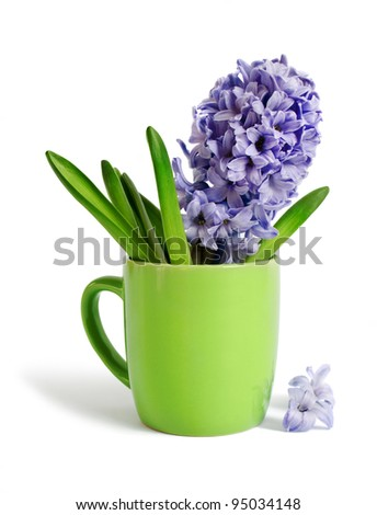 The hyacinth in a tea cup is isolated on a white background - stock photo