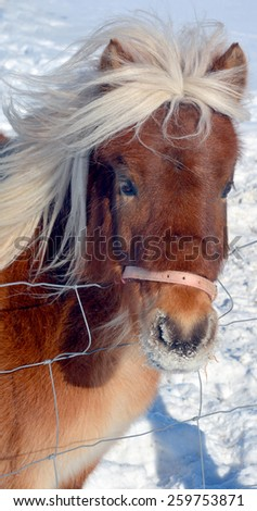 The Icelandic horse is a breed of horse developed in Iceland. Although the horses are small, at times pony-sized, most registries for the Icelandic refer to it as a horse. - stock photo