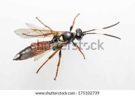 The Ichneumon Wasp (Coelichneumon viola) - stock photo