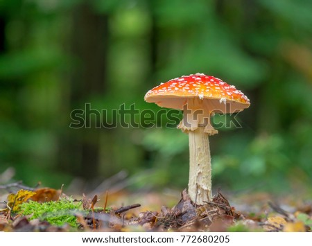 The iconic Fly agaric (Amanita muscaria)