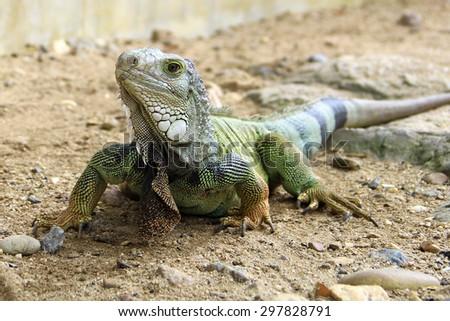 The iguana - stock photo