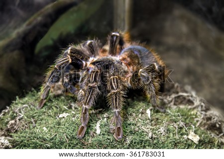 the image of an exotic animal spider theraphosa blondi