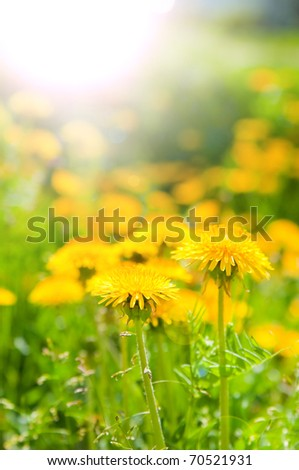 The image of dandelions in beams of the morning sun - stock photo