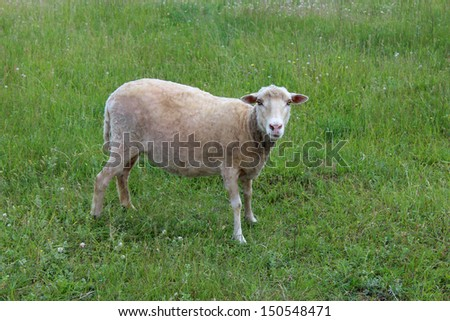 the image of gray sheep grazing on grass - stock photo