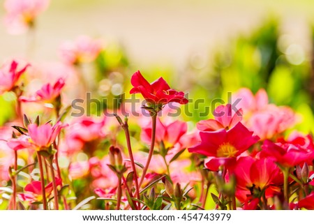 The image of many color of Flower Portulaca oleracea.