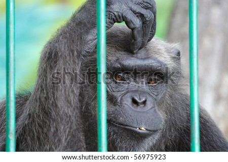 The image of sad chimpanzee scratching her head - stock photo
