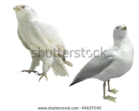 The image of white eagle and seagull under the white background - stock photo