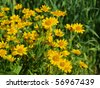 the image shows a blooming arnica montana - stock photo