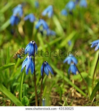 the image shows a honeybee collecting nectar from a squill - stock photo