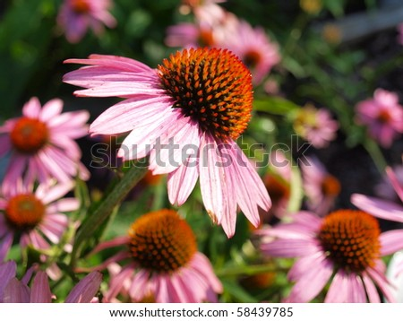 the image shows some beautiful echinacea blossoms - stock photo