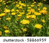 the image shows some blooming calendula plant - stock photo