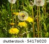 the image shows taraxacum officinale - stock photo