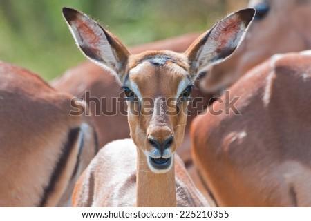 The impala (Aepyceros melampus) ~ South Africa - stock photo