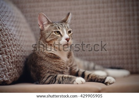 The impressive striped domestic cat lies on a sofa.