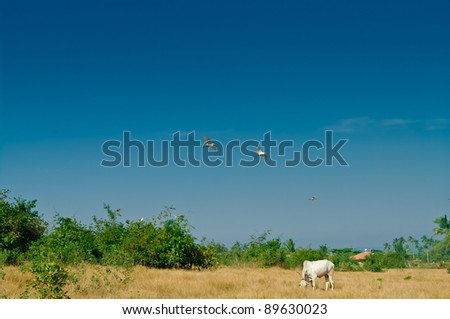 The Indian cow is grazed on a meadow - stock photo