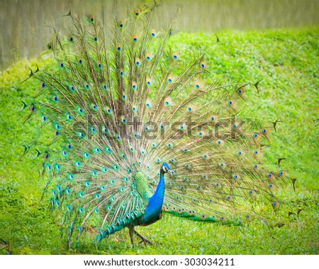 The Indian peafowl male displaying - stock photo