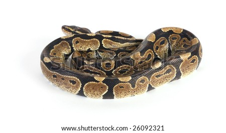 the Indian python in a coiled position - stock photo