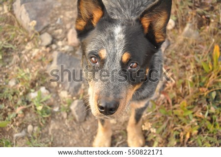 The intelligent gaze of a blue Australian Cattle Dog