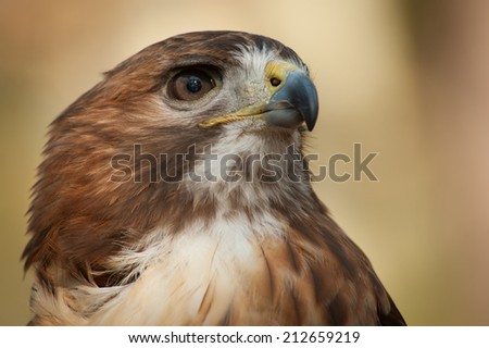 The intense stare of the red-tailed Hawk (Buteo jamaicensis) is obvious in this portrait of the wild animal. - stock photo