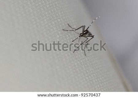 The invasive Asian Tiger Mosquito is a carrier for many parasites and diseases including West Nile virus. - stock photo