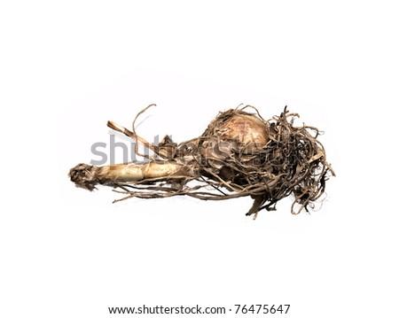 The isolated bulb of Nerine Bowdenii - stock photo